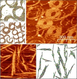 AFM images of FtsZ filaments on different anchoring conditions and results from the Montecarlo simulations with anchoring.